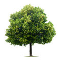 Leafy Linden tree Stock Photo