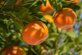 Leafy tree branches with tangerines in dappled sunshine or mandarins Royalty Free Stock Photography