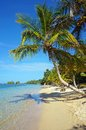 Leaning coconut tree on beach tropical with over the sea caribbean sea Royalty Free Stock Images