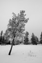 Leaning tree blanketed in hoarfrost Royalty Free Stock Photo