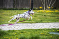 Leaping dalmation Royalty Free Stock Photo
