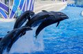 Leaping dolphins out of the water at seaworld orlando Stock Image