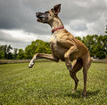 Leaping great dane a in a field Stock Image