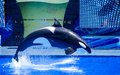 A leaping killer whale orca out of the water at seaworld orlando Stock Photos