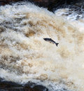 Leaping salmon a at shin falls scotland Stock Photo