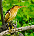 Least Bittern Royalty Free Stock Photo