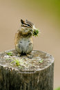 Least Chipmunk, Tamias minimus Stock Images