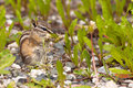 Least chipmunk tamias minimus foraging dandelions cute little between green plants for dandelion buds Stock Photos