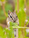 Least chipmunk tamias minimus foraging dandelions cute little between green plants for dandelion buds Royalty Free Stock Images