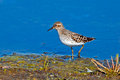 Least sandpiper walking along shoreline Royalty Free Stock Images