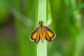 Least skipper perched on grass Stock Images