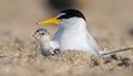 Least Tern Royalty Free Stock Photo