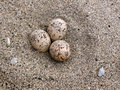Least Tern Eggs Stock Image