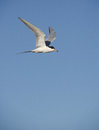 Least tern flying Royalty Free Stock Image