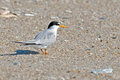 Least tern standing on the beach Royalty Free Stock Photography