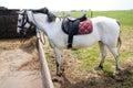 Leather horse saddle on a grey horseback Royalty Free Stock Photo