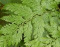 Leatherleaf fern also known as leathery shieldfern iron weeks and climbing shield rumohra adiantiformis leaves Stock Image