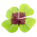 Leaved cloverleaf before white background Stock Photo