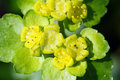 Leaved golden saxifrage Stock Image