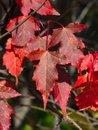 Leaves of Amur Maple or Acer ginnala in autumn sunlight with bokeh background, selective focus, shallow DOF Royalty Free Stock Photo