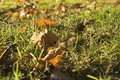 Leaves in autumn on the grass Royalty Free Stock Photo