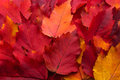 Leaves autumn maple red background Royalty Free Stock Image