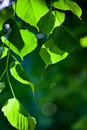Leaves in back light Royalty Free Stock Photo