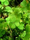 Leaves of clover Stock Image