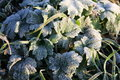 Leaves covered in hoar frost Stock Photos