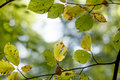 Leaves of a deciduous tree turning yellow in early autumn Royalty Free Stock Photo