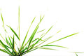 Leaves of a decorative sedge on a white background Royalty Free Stock Photo