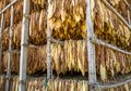 Leaves of dried tobacco. Royalty Free Stock Photo