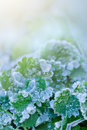 Leaves with drops of the frozen water hoarfrost winter Royalty Free Stock Photo