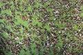 Leaves On Duck Weed