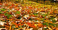 Leaves in fall Royalty Free Stock Image