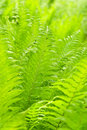 Leaves fern Royalty Free Stock Images