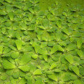 Leaves floating on pond Royalty Free Stock Photos