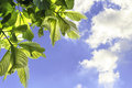 Leaves of garden tree on blue sky and clound Stock Photo