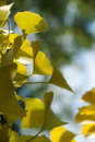 Leaves of the Gingko Tree Stock Images