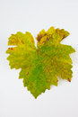 Leaves Grape Royalty Free Stock Photo