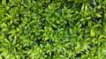 Leaves green plants Royalty Free Stock Photo