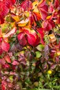 Leaves have turned red during a few weeks in the autumn season , Close up view of  english ivy, with  yellow dandelion Royalty Free Stock Photo