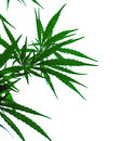 A leaves of hemp Royalty Free Stock Images
