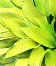 Leaves of a hosta Royalty Free Stock Photos