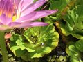 Leaves inwater lotus jog thai Royalty Free Stock Photo