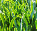 Leaves of iris in the morning - green natural background Royalty Free Stock Photo