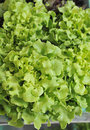 Leaves lettuce Royalty Free Stock Image