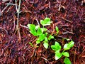stock image of  Leaves from lion berry grow well in an anthill
