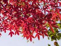 Leaves of Manchurian Maple or Acer mandshuricum in autumn against sunlight with bokeh background, selective focus Royalty Free Stock Photo