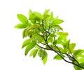 Leaves of mango tree Royalty Free Stock Photo